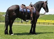 FAMILY SAFE Friesian-Crossbred, 1200lb Ranch/Trail/Driving Horse, Stout Built, Beginner Safe! Rides and Drives!