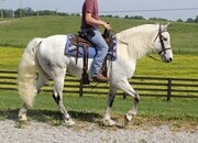 Family Safe Trail Horse, Smooth gaits, virtuallly bombproof!!!