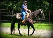 Beautiful Black Trail Horse Safe and Broke