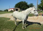 gentle gray gelding aka Lucky