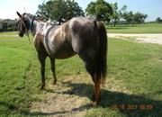 beautiful sorrel gelding aka jasper