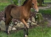 Well Bred Yearling Shetland colt