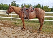 Gaited Appaloosa Gelding