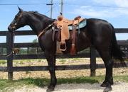 VERY PRETTY BLACK PERCHERON QUARTER HORSE CROSS GELDING, RIDES AND DRIVES, VERY GENTLE