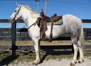 GYPSY VANNER QUARTER HORSE CROSSBRED MARE, RIDES NICELY