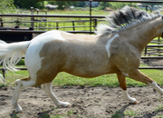 Hollywood Dunnit, QT Poco Streke, Trasadeous - Royally bred Buckskin Tobiano Stallion