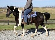 Beginner Safe Trail Horse! Big and Stout built, very smooth gait!