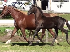 De Niro Grand-Daughter Broodmare -CDN$$