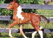 2020 Lovely Tobiano Friesian Sporthorse Colt