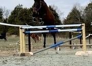 Unraced Thoroughbred Gelding - Hunter, Jumper, Eventing
