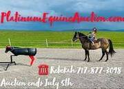 Heading/Heeling, has been ranched on, Lesson Horse, Place your bids at www.PlatinumEquineAuction.com beginner safe trail horse, big stout and gentle for any rider on trails or around the ranch!