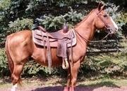 Quarter Pony Gelding