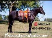 Place your bids at www.PlatinumEquineAuction.com Family safe ranch horse, gentle for any rider on trails or around the ranch! Big Stout Draftcross!!!