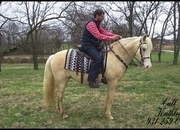 Gorgeous, Advanced Beginner Palomino/White Spotted Saddle Mare