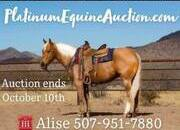 Place your bids at www.PlatinumEquineAuction.com experienced REAL ranch horse, stout and gentle for anyone to ride on trails or around the ranch! Penning, Sorting, Ropes Head/Heels/Breakaway!