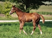 Gorgeous Chestnut 2021 APHA Stallion-Show Prospect!! Sonny Dee Bar bloodlines