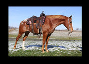 Big stout, beginner safe, bombproof, trail horse, worked cows, really broke!!!