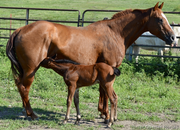 Paddys Irish Whiskey, Genuine 007 - Dual Pep bred colt @side - Nfoal same Sire - 3in1 package