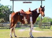 Stout 14.2 hand ranch broke paint gelding