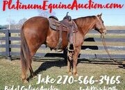 Place your bids at www.PlatinumEquineAuction.com beginner safe ranch horse, big stout and gentle for any rider on trails or around the ranch!