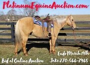 Place your bids at www.PlatinumEquineAuction.com beginner safe, Golden Palomino gelding, Ranch/Trail, horse... safe for the whole family!!!