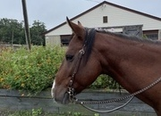 14.3 Hand Gentle Ranch Horse for Sale