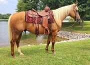 Shorty - 11 year old palomino gelding - place bids at www.horsebid.com