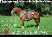 Place your bids at www.PlatinumEquineAuction.com family safe Ranch/Trail horse, Dressage prospect, Jumper Prospect! Can go in any direction!