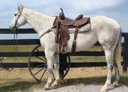 AQHA GRAY GELDING, ANYONE CAN RIDE, OFF THE BARTLETT RANCH, GENTLE AND QUIET
