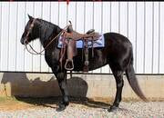 Place your bids at www.PlatinumEquineAuction.com beginner safe ranch horse, big stout and gentle for any rider on trails or around the ranch! Nice Crossbred!