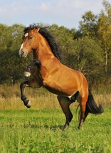 Mustang Horse Breed