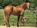 golden gait riding stables