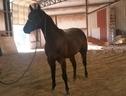 Comer Quarter Horses